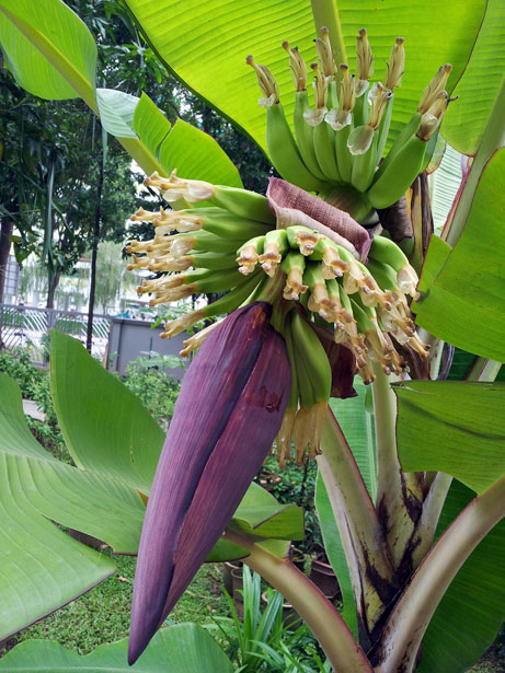 Download Foto Model Banana Tree Flower Free Stock Photo - Public Domain Pictures