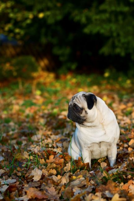 Fall Pug Wallpaper Pugminded For Pugminded People