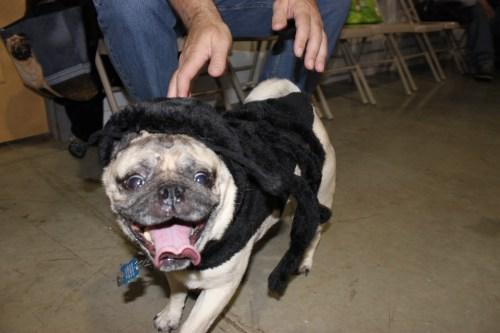 Medium Of Pugs In Costumes