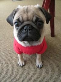 Pug clothes | Pugs Big Life