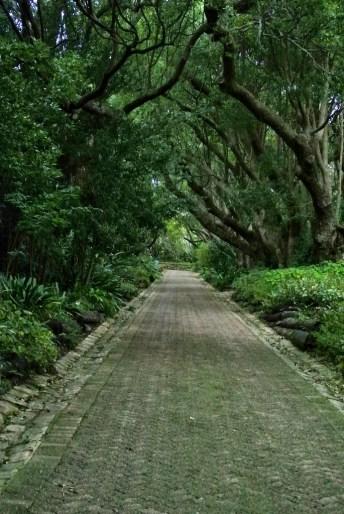 Camphor Avenue, Kirstenbosch Botanical Garden