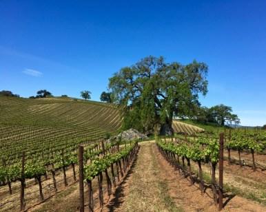 Vineyard-oak-tree