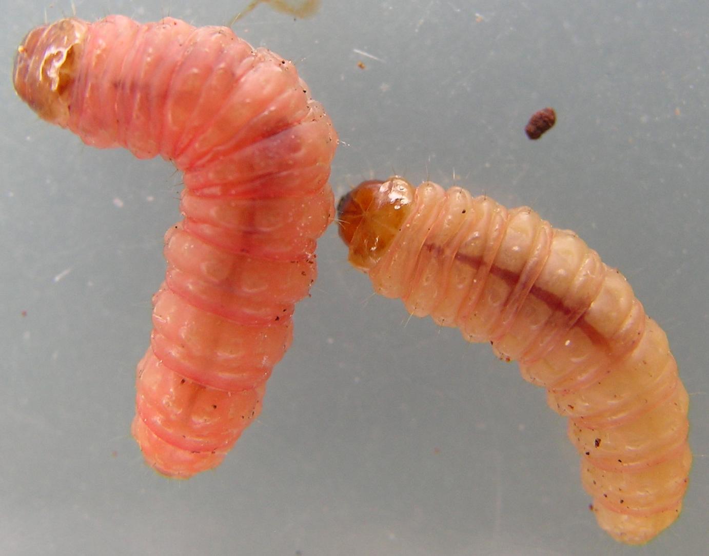 bed bug larvae