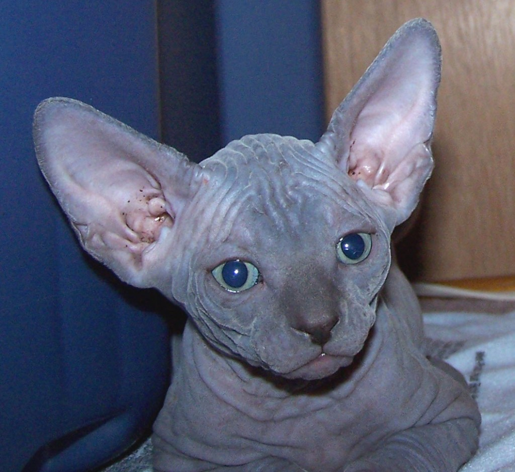 Sfinx Kat Blue Sphynx Cat 7 Top Rated Pictures Of Sphynx Cats