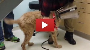 This Dog Used To Be Blind. Here He Is After Surgery, Seeing His Owners For The First Time (VIDEO)
