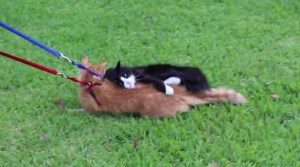 This Guy Discovers The Hard Way Why You Don't Put A Leash On A Cat