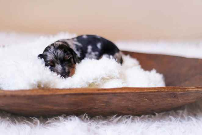 Pictures Of Newborn Babies Just Born Proud Dachshund Mom Poses For Photoshoot With Her Newborn Pups