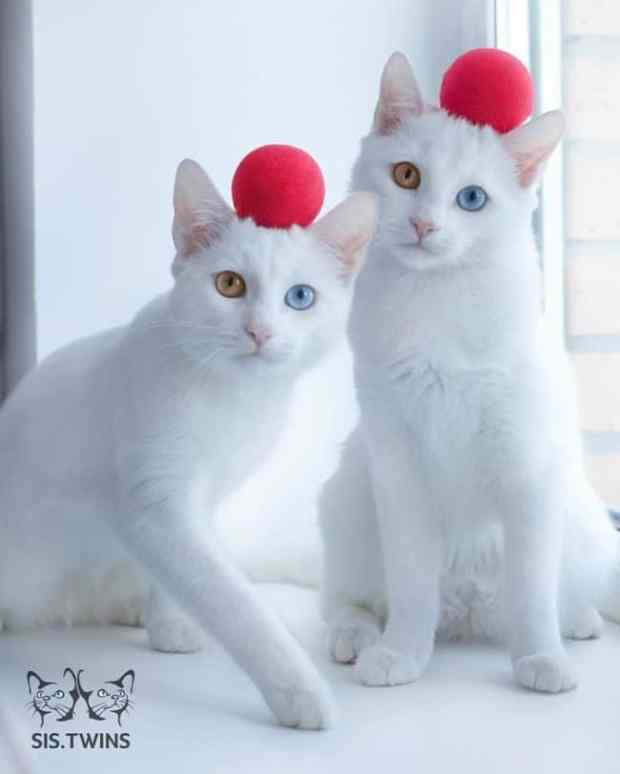 57a868c6137c6 - Cutest Cats in the World