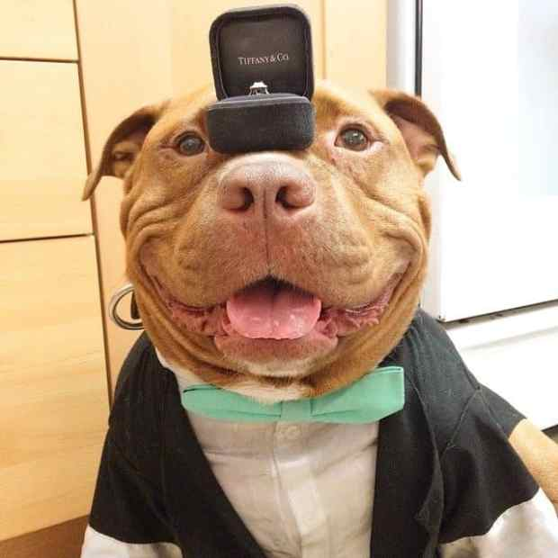 57d1305871662 - Since Being Adopted, This Pit Bull Can't Stop Smiling