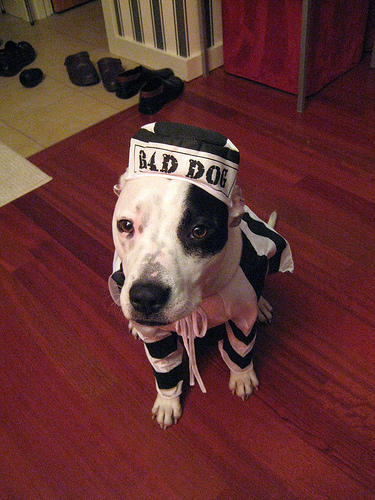 Pit Bull wearing bad dog costume