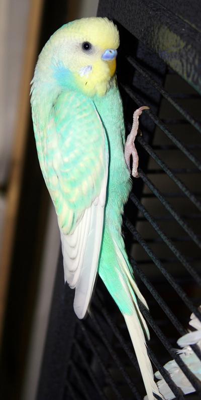 parakeet colors - photo #39