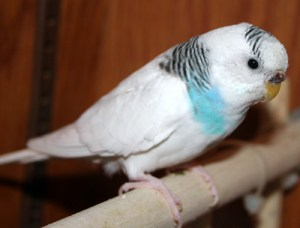 Odd-eyed pied (double-factor dominant pied split for recessive pied) budgie parakeet