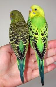 Opaline vs Normal green budgie parakeet