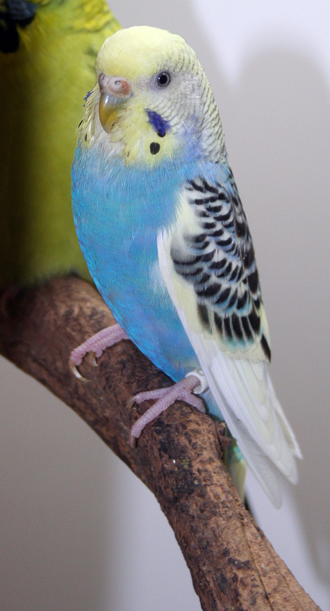 Parakeet FAQ Frequently Asked parakeet questions