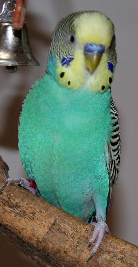 parakeet colors - photo #32