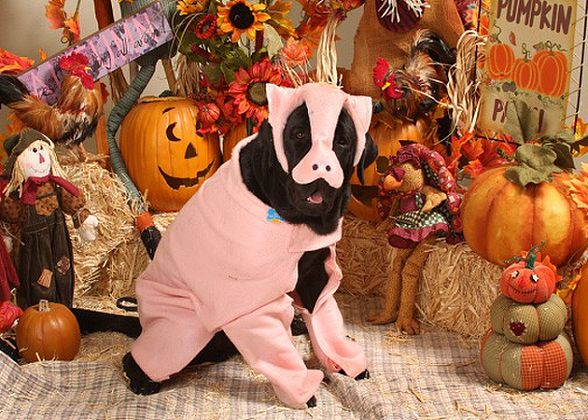 Dog Halloween Safety Tips Puppy In Training
