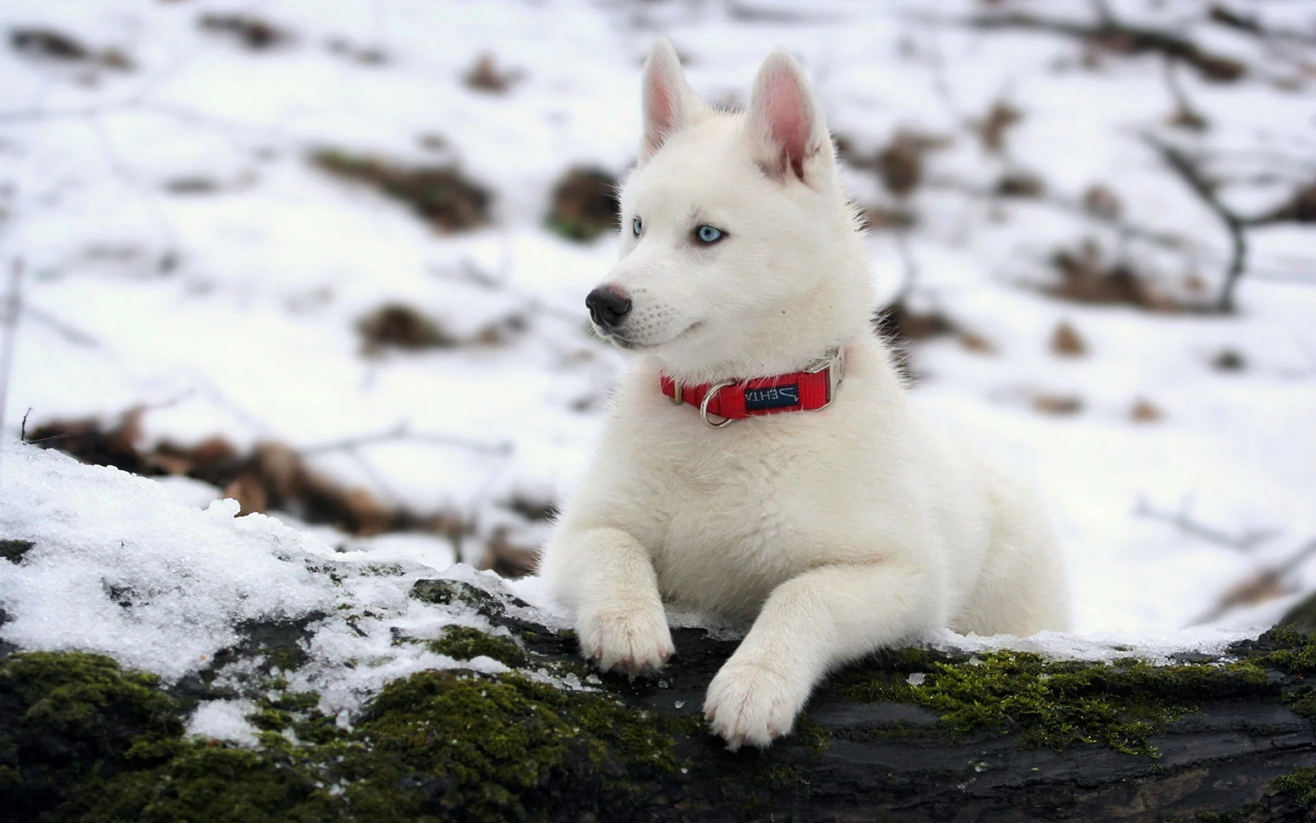 Contemporary Things You Know About Siberian Husky How Long Can Huskies Live Without Food How Long Do Male Huskies Live bark post How Long Do Huskies Live