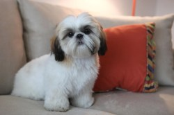 Small Of Do Shih Tzu Shed