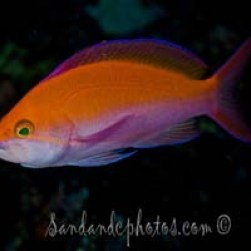 Critters - bicolor anthias 3