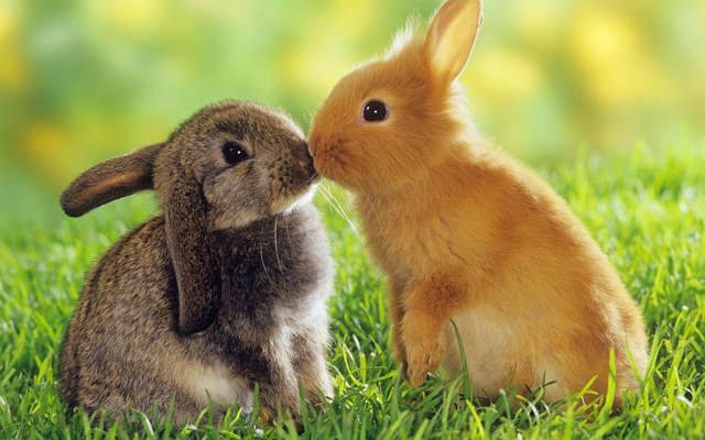 two-bunnies-kissing