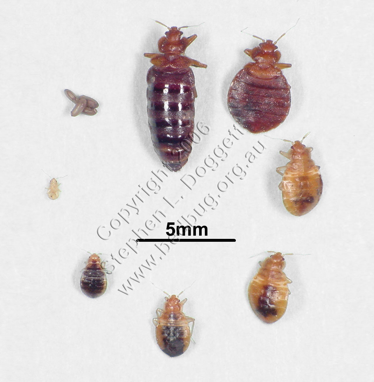 Images Of Bed Bugs Information About Bed Bugs Pictures Videos Treatment Options