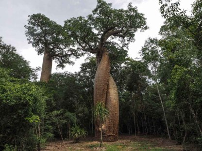 Zwei Baobabs in einem
