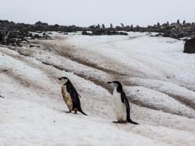 Half Moon Island, Pinguine