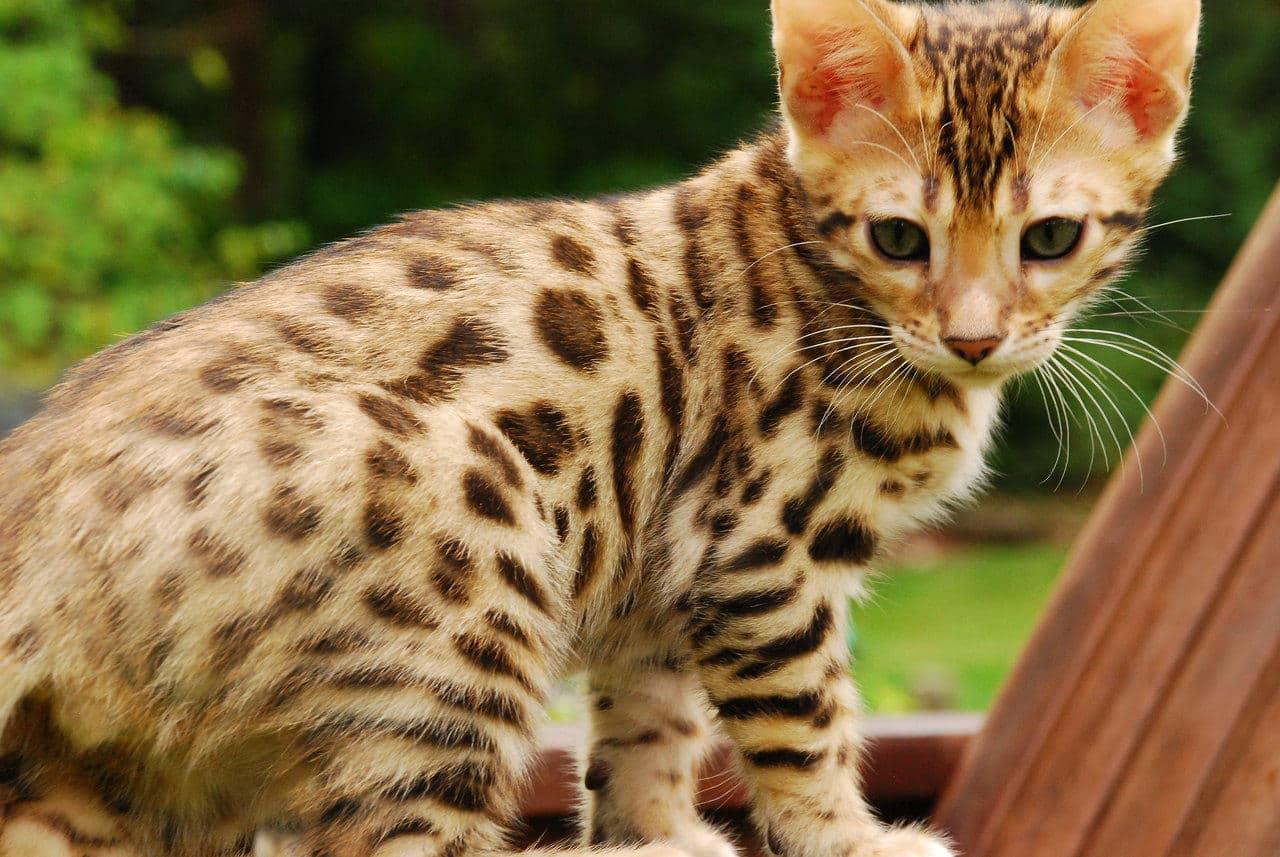 Cute Baby Tiger Wallpaper Bengal Cat Purrfect Cat Breeds