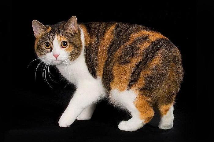 Cute Japanese Cat Wallpaper Manx Cat Purrfect Cat Breeds