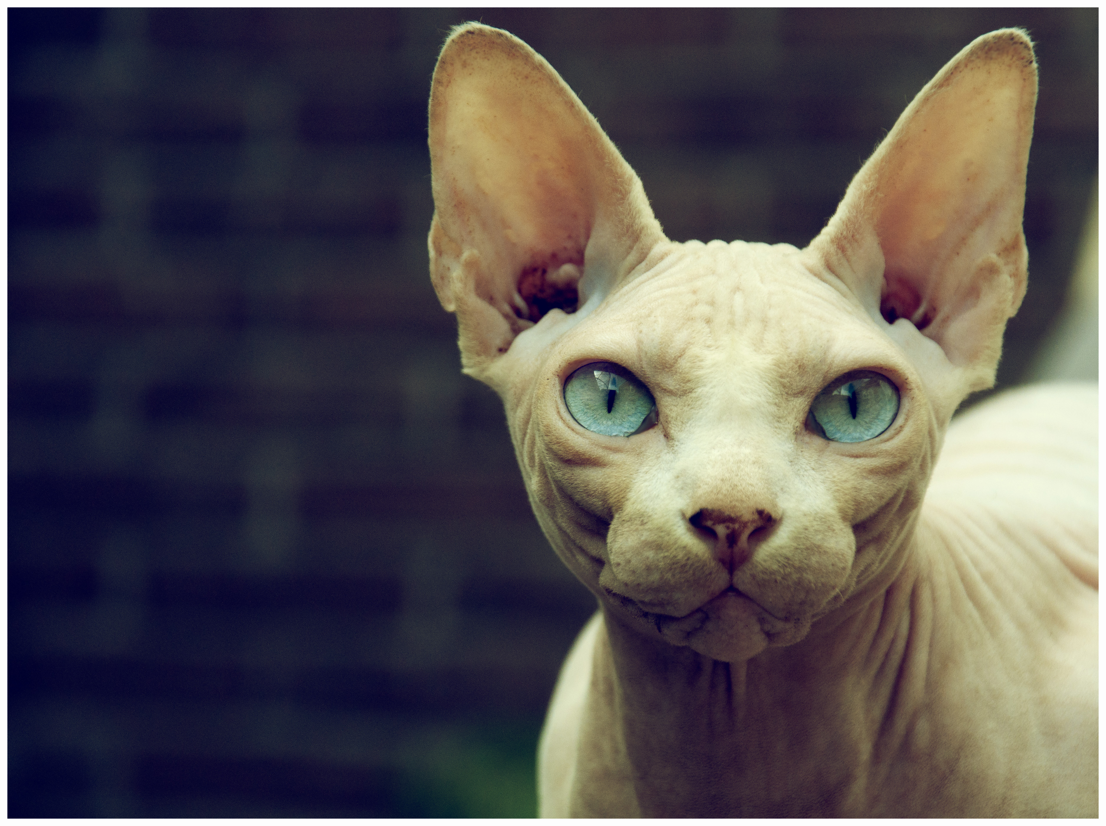 Sfinx Kat Sphynx Cat Pictures Personality And How To Care For