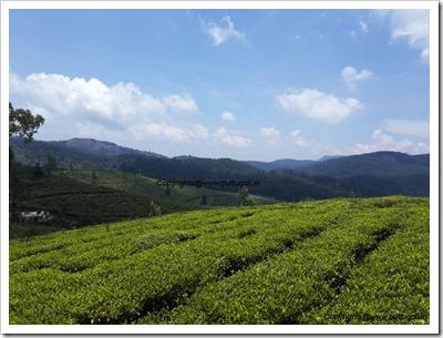Tea Estates Ooty