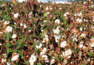 cotton-plantation