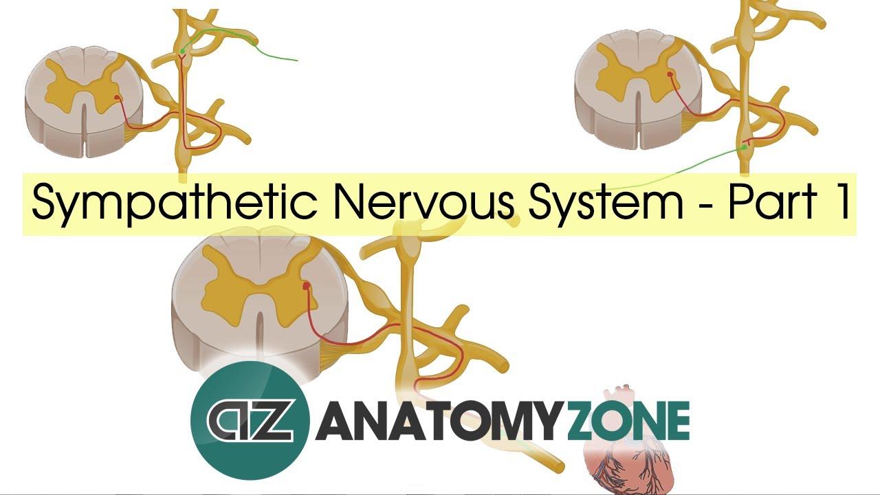 Sympathetic Nervous System Anatomy - Part 1 - QD Nurses