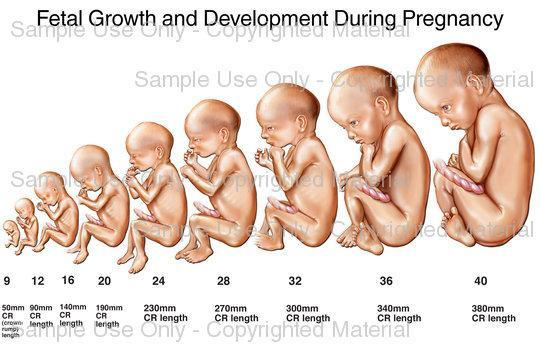 24 Semanas Cuantos Meses Son De Embarazo Fetal Development From Conception To Birth - Scored Quiz