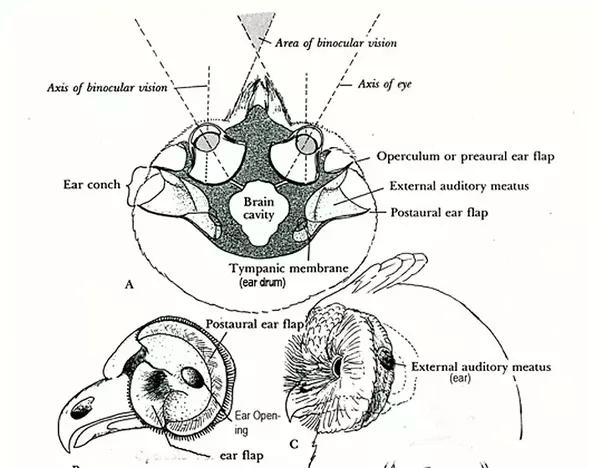 ear skull diagram