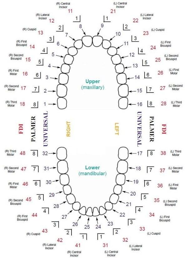 dental diagrams
