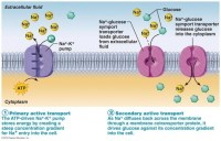 What role does ATP play in the function of active ...