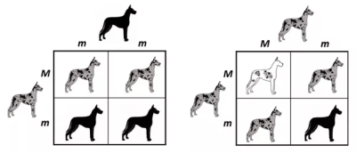 What are incomplete dominance Punnett squares? How do you make them? - Quora