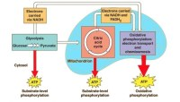 Where does cellular respiration take place? - Quora