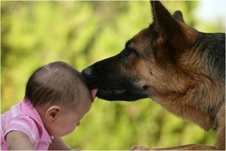 Cute Infants Wallpapers Is A German Shepherd A Good Dog For A Family With Infants