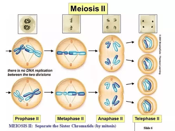 meiosis 1 diagram
