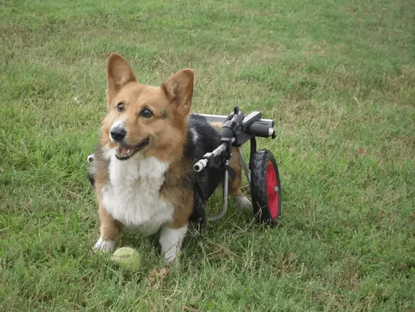 What Health Problems Do Corgis Commonly Have Quora