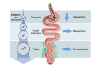 Where does most of the nutrient absorption take place? - Quora