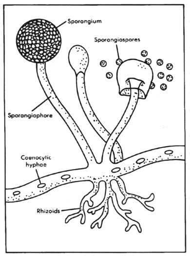 fungi diagram