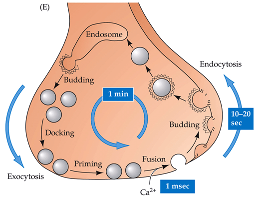 What Is Endocytosis What Are Some Examples Quora