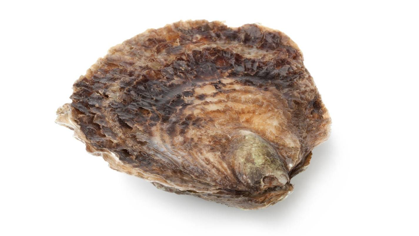 Oesters Seizoen Zeeuwse Platte Oesters | Qualimer | Qualimer