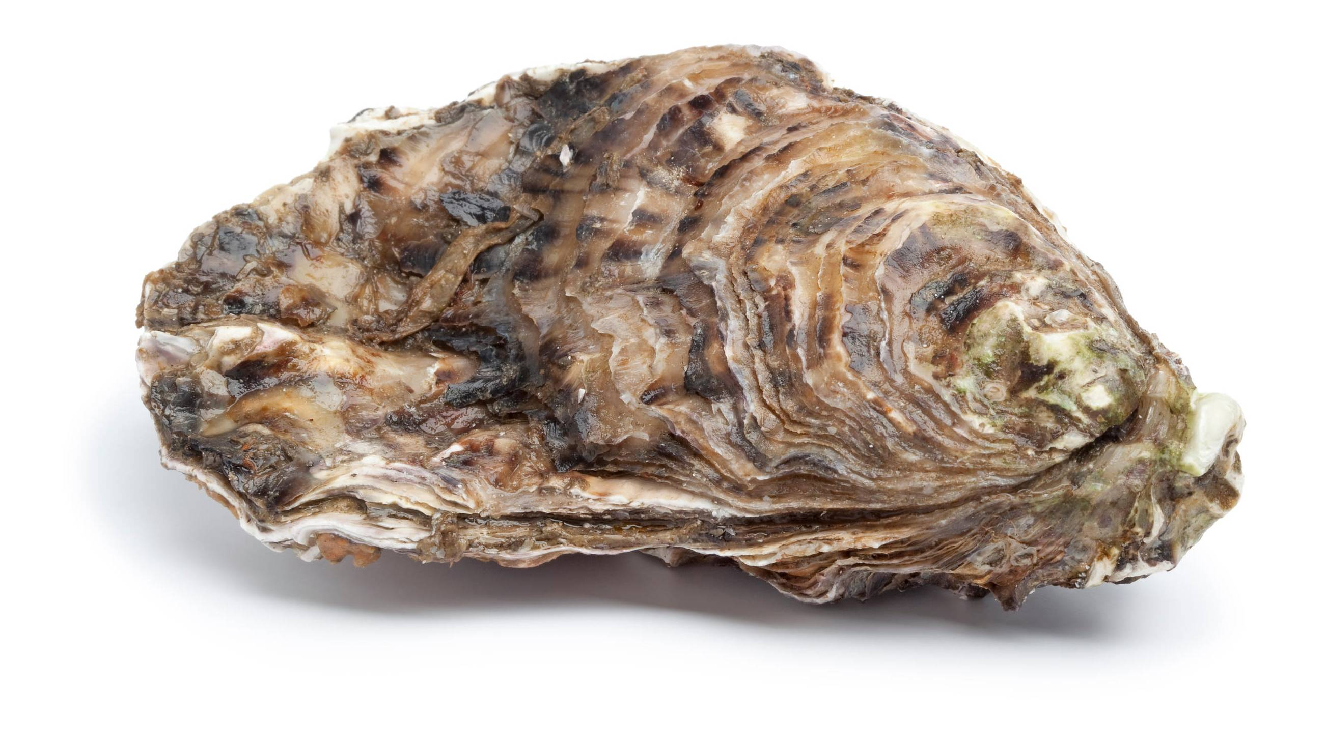 Oesters Seizoen Zeeuwse Of Japanse Oesters (creuse) | Qualimer | Qualimer