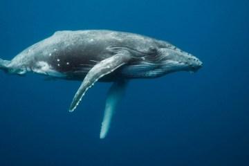 whales-underwater-darrenjew-whale-02a