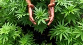 Baja criminalidad y narcotráfico por legalización de marihuana en Uruguay