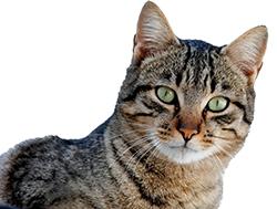 Los gatos también deben ser vacunados para su bienestar.